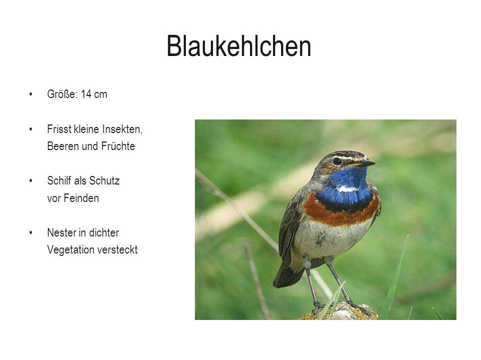 Blaukehlchen Größe: 14 cm Frisst kleine Insekten, Beeren und Früchte Schilf als Schutz vor Feinden Nester in dichter Vegetation versteckt
