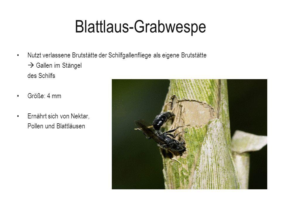 Blattlaus-Grabwespe Nutzt verlassene Brutstätte der Schilfgallenfliege als eigene Brutstätte Gallen im Stängel des Schilfs Größe: 4 mm Ernährt sich vo
