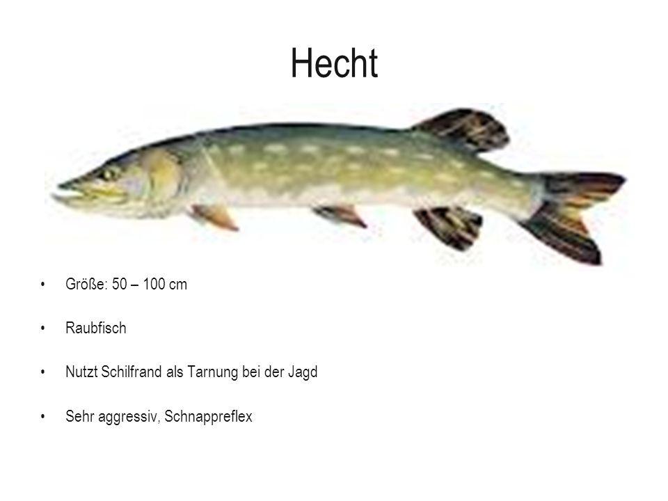 Hecht Größe: 50 – 100 cm Raubfisch Nutzt Schilfrand als Tarnung bei der Jagd Sehr aggressiv, Schnappreflex