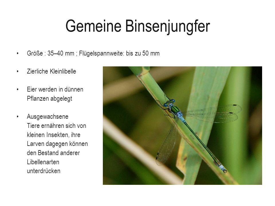 Gemeine Binsenjungfer Größe : 35–40 mm ; Flügelspannweite: bis zu 50 mm Zierliche Kleinlibelle Eier werden in dünnen Pflanzen abgelegt Ausgewachsene T