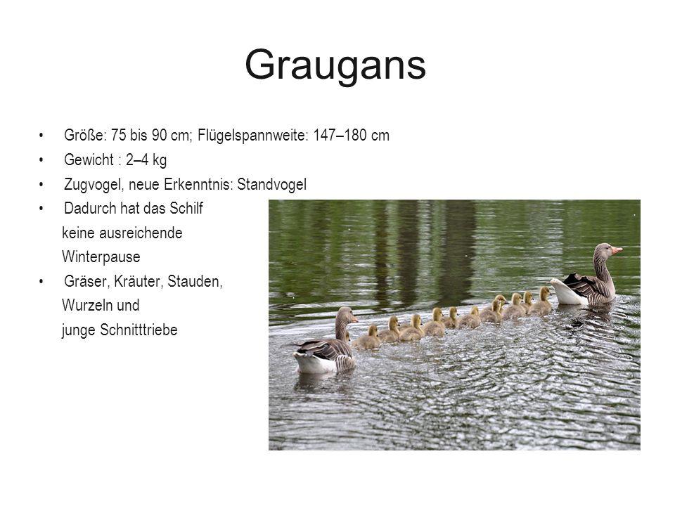 Graugans Größe: 75 bis 90 cm; Flügelspannweite: 147–180 cm Gewicht : 2–4 kg Zugvogel, neue Erkenntnis: Standvogel Dadurch hat das Schilf keine ausreic