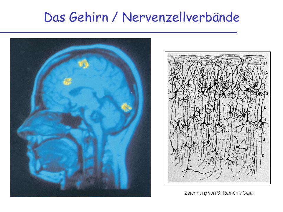 Das Gehirn / Nervenzellverbände Zeichnung von S. Ramón y Cajal