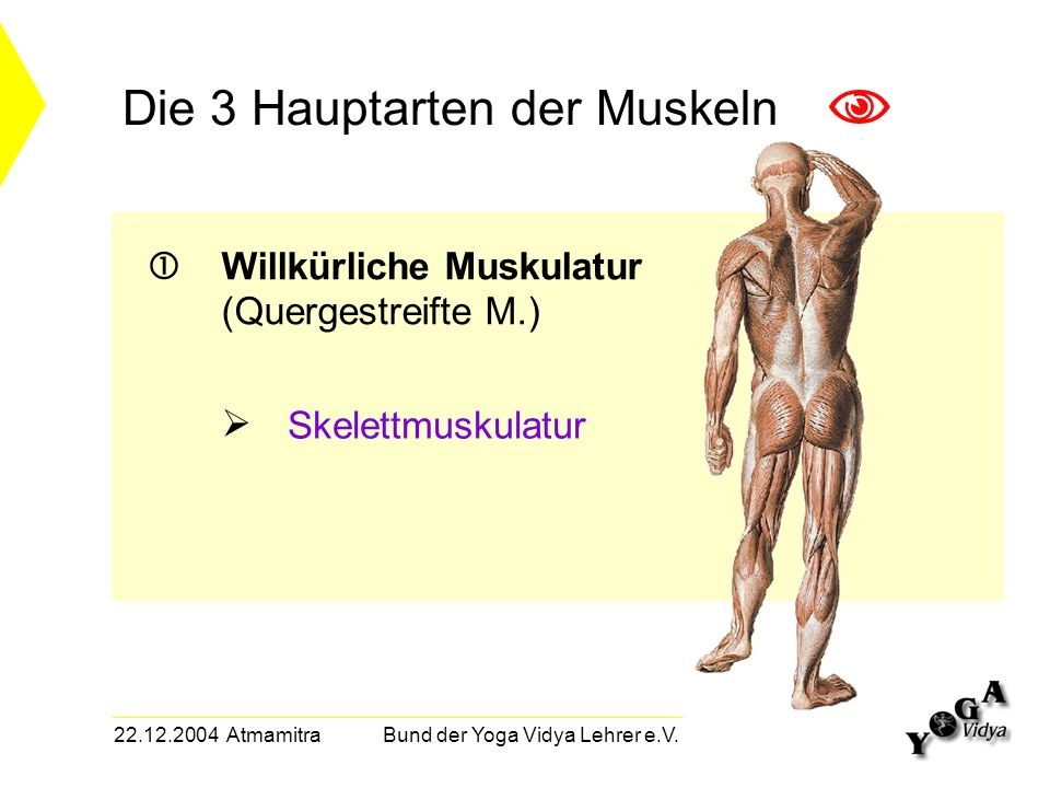 22.12.2004 Atmamitra Bund der Yoga Vidya Lehrer e.V. Die 3 Hauptarten der Muskeln Willkürliche Muskulatur (Quergestreifte M.) Skelettmuskulatur