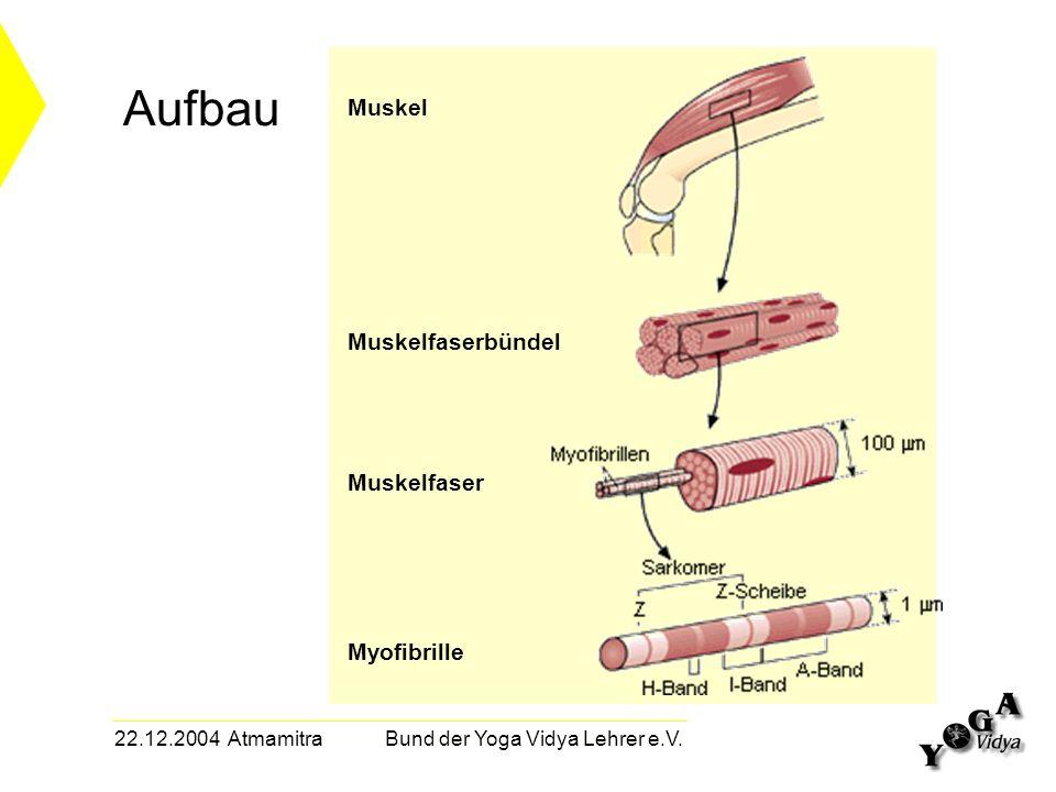 22.12.2004 Atmamitra Bund der Yoga Vidya Lehrer e.V. Aufbau Muskel Muskelfaserbündel Muskelfaser Myofibrille