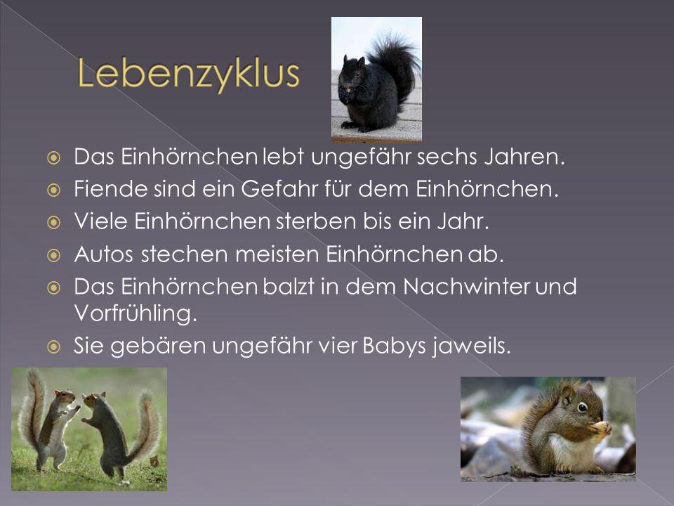 Das Einhörnchen lebt ungefähr sechs Jahren. Fiende sind ein Gefahr für dem Einhörnchen.