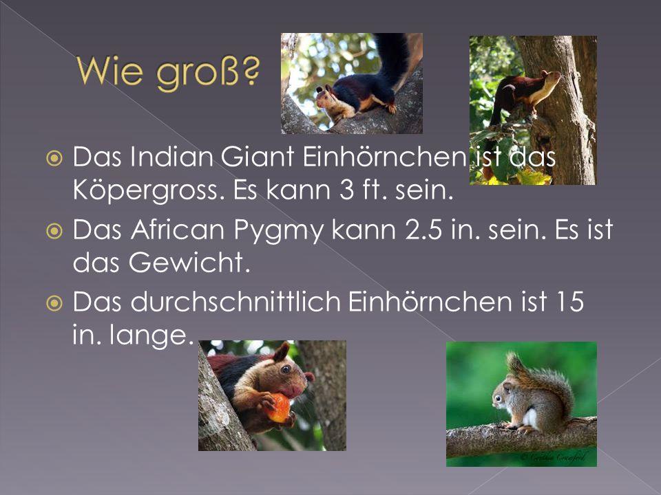 Das Indian Giant Einhörnchen ist das Köpergross. Es kann 3 ft.