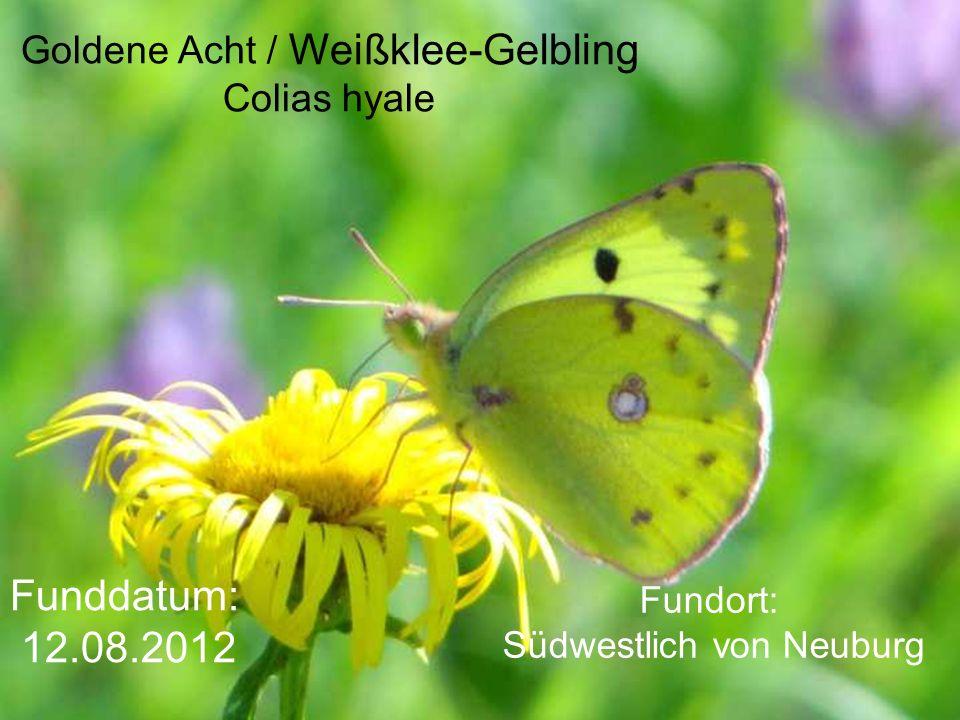 Goldene Acht / Weißklee-Gelbling - Colias hyale in der Südpfalz * Rückblick Verbreitungsgebiet und Ausbreitung 2012 Flugzeiten *) Basis Südpfalz: Funde von M&N Scheydt RLP-Gesamt: Daten aus dem Artenfinder (www.