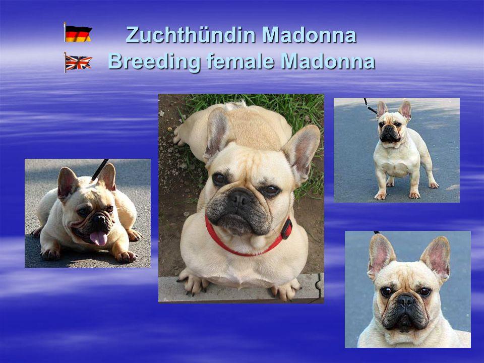 Zuchthündin Madonna Breeding female Madonna