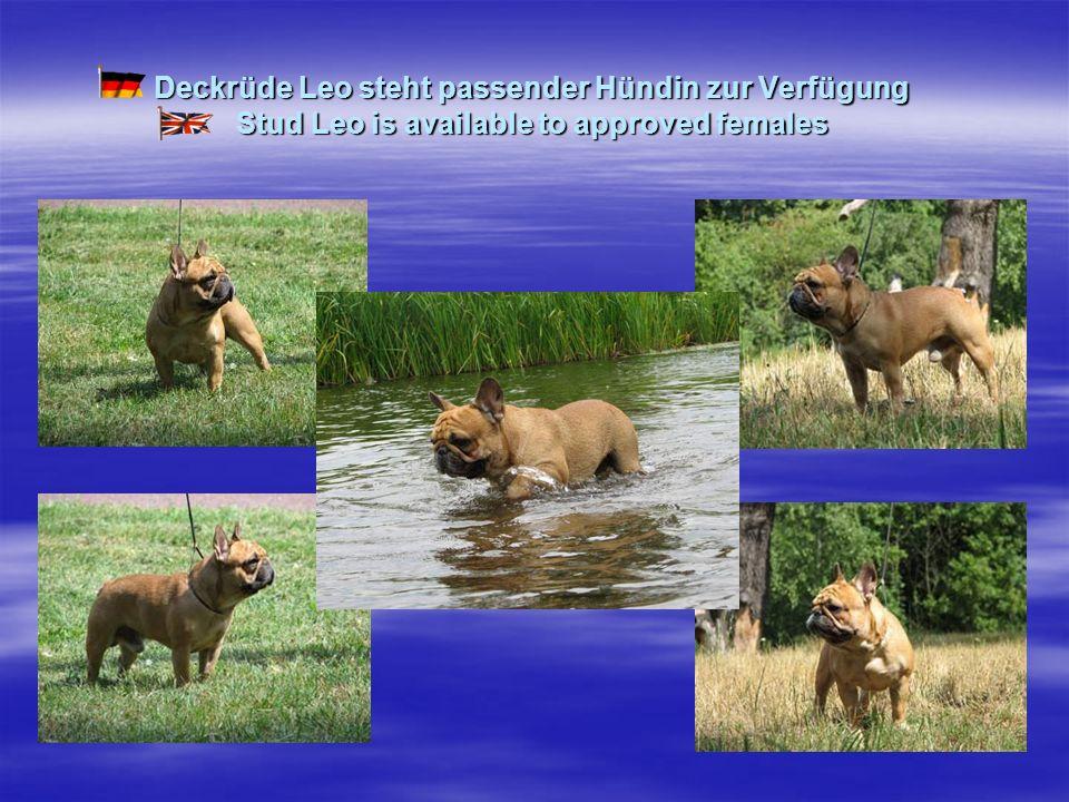 Deckrüde Leo steht passender Hündin zur Verfügung Stud Leo is available to approved females
