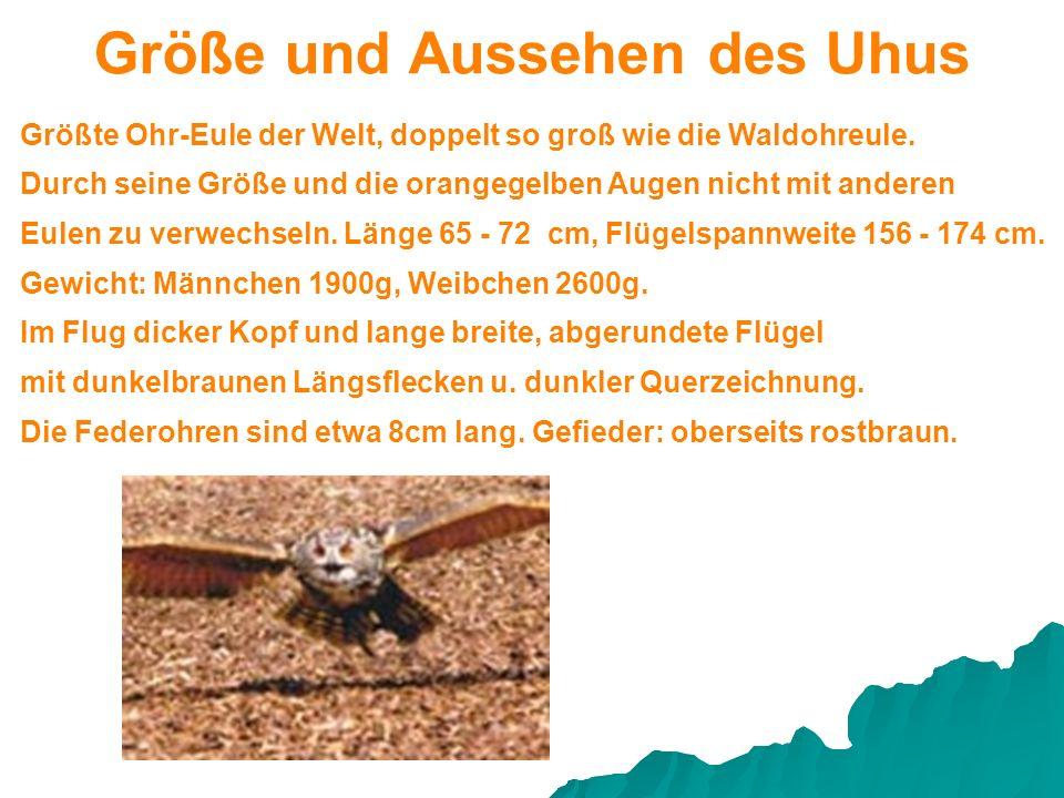 Größte Ohr-Eule der Welt, doppelt so groß wie die Waldohreule. Gewicht: Männchen 1900g, Weibchen 2600g. Durch seine Größe und die orangegelben Augen n