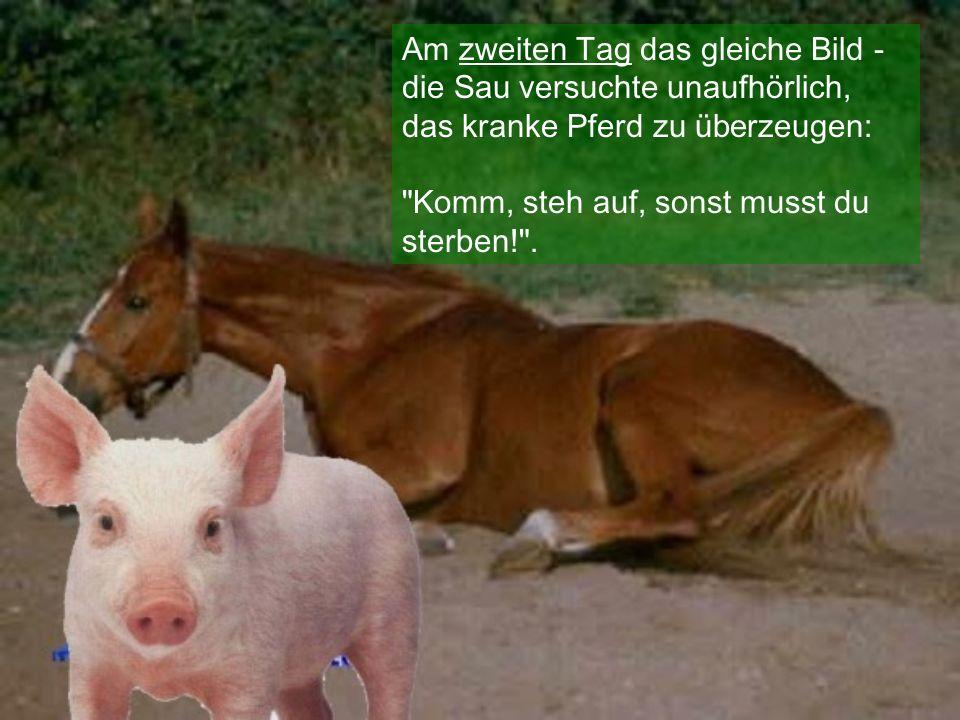 Am zweiten Tag das gleiche Bild - die Sau versuchte unaufhörlich, das kranke Pferd zu ü be rzeugen: