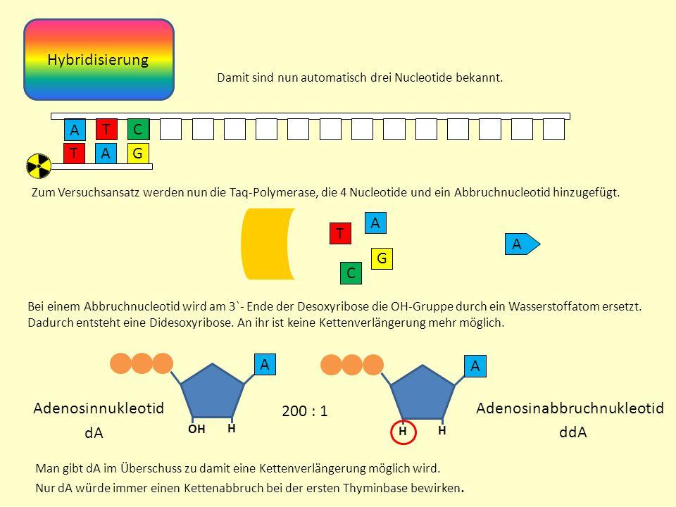 Hybridisierung A TG Damit sind nun automatisch drei Nucleotide bekannt.