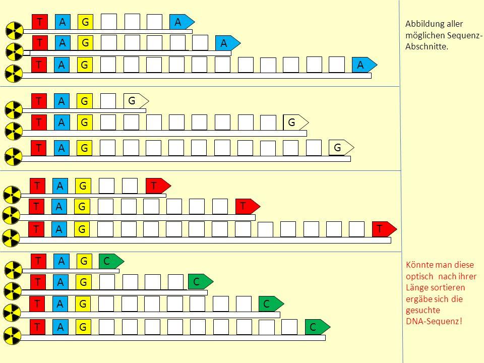 A TG AA TG A A TG A A TGCC A TG A TG CA TG C A TG T A TG T A TG T A TG G A TG G A TG G Abbildung aller möglichen Sequenz- Abschnitte.