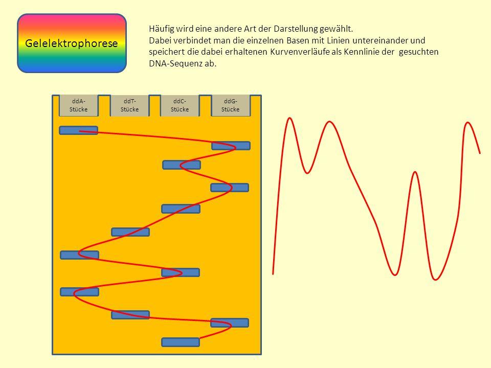 ddA- Stücke ddT- Stücke ddC- Stücke ddG- Stücke Gelelektrophorese Häufig wird eine andere Art der Darstellung gewählt.