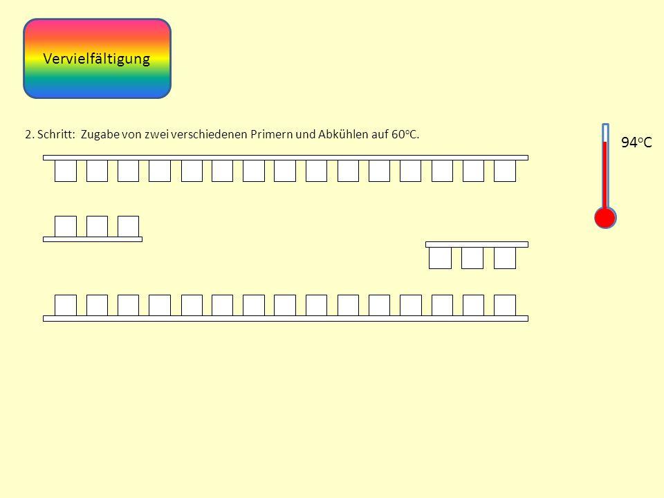 Vervielfältigung 2. Schritt: Zugabe von zwei verschiedenen Primern und Abkühlen auf 60 o C. 94 o C