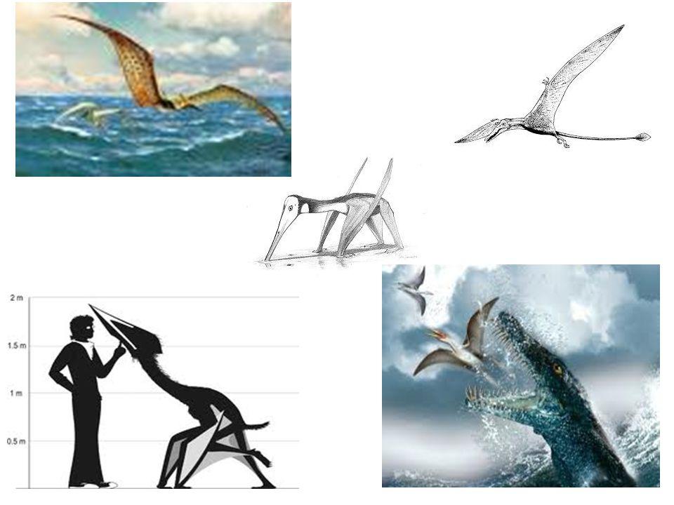 Der Kurzschwanzsaurier Der Pterodactylus Pterodactylus (Flugfinger) ist eine Gattung kleiner Kurzschwanzflugsaurier (Pterodactyloidea).