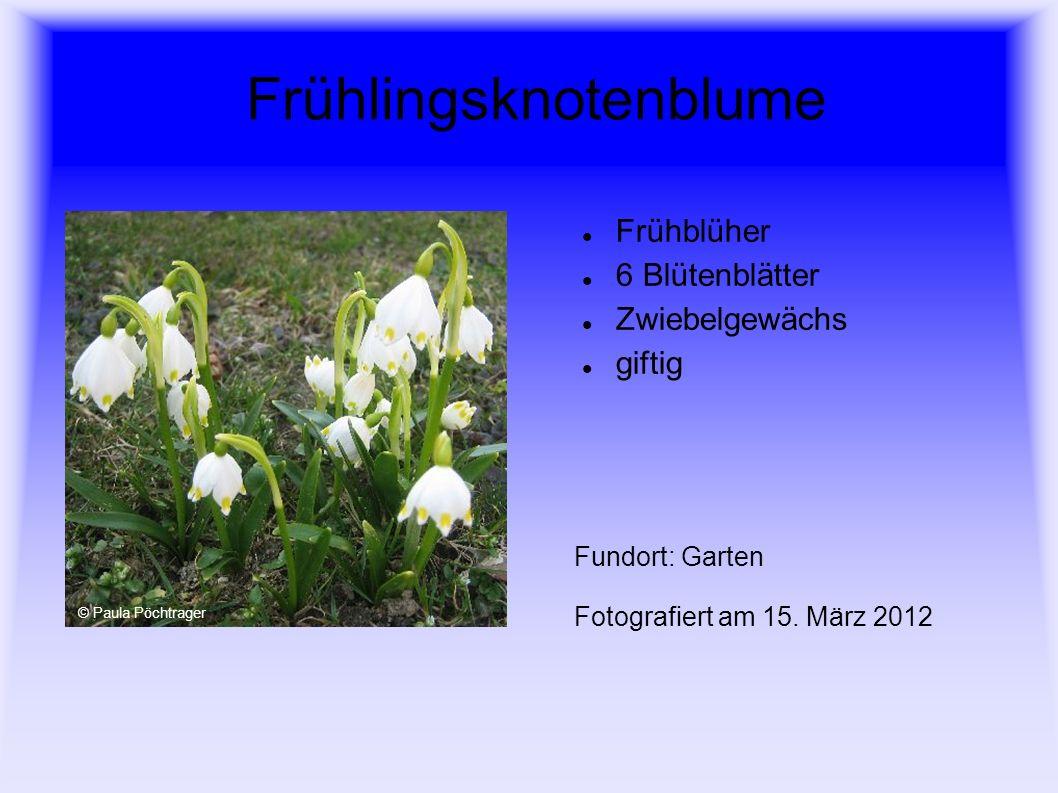 Sumpfdotterblume Frühblüher 5 Blütenblätter viele Staubblätter herzförmige, glänzende Laubblätter Ufer, nasse Wiesen Fundort: Bachufer Fotografiert am 20.