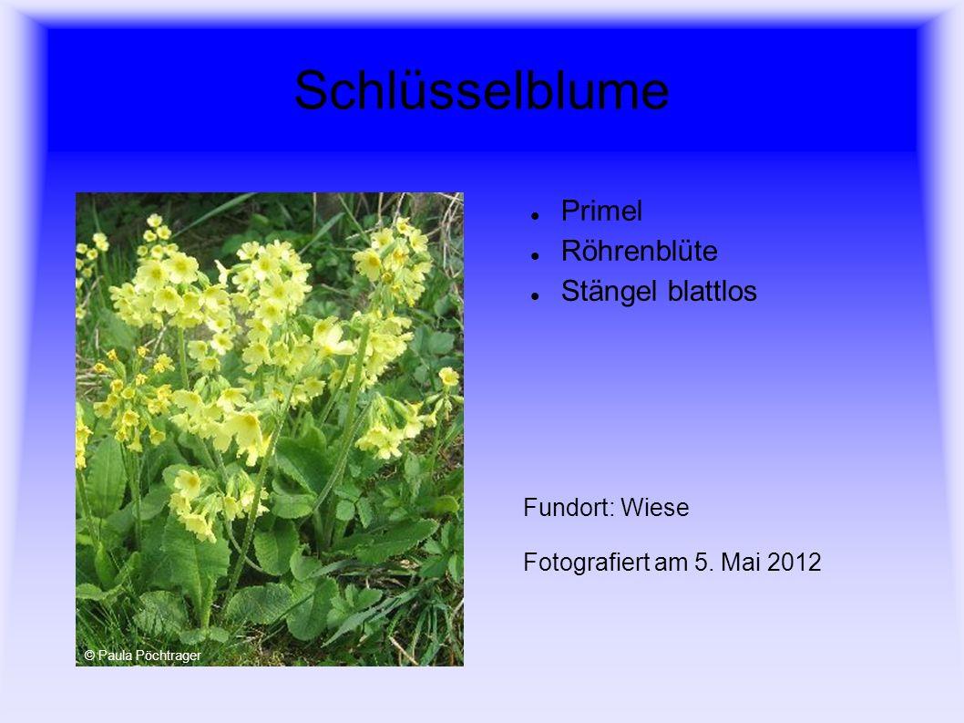 Geflecktes Knabenkraut Orchidee Sumpfwiesen geschützte Pflanze Fundort: Feuchte Wiese Fotografiert am 17.