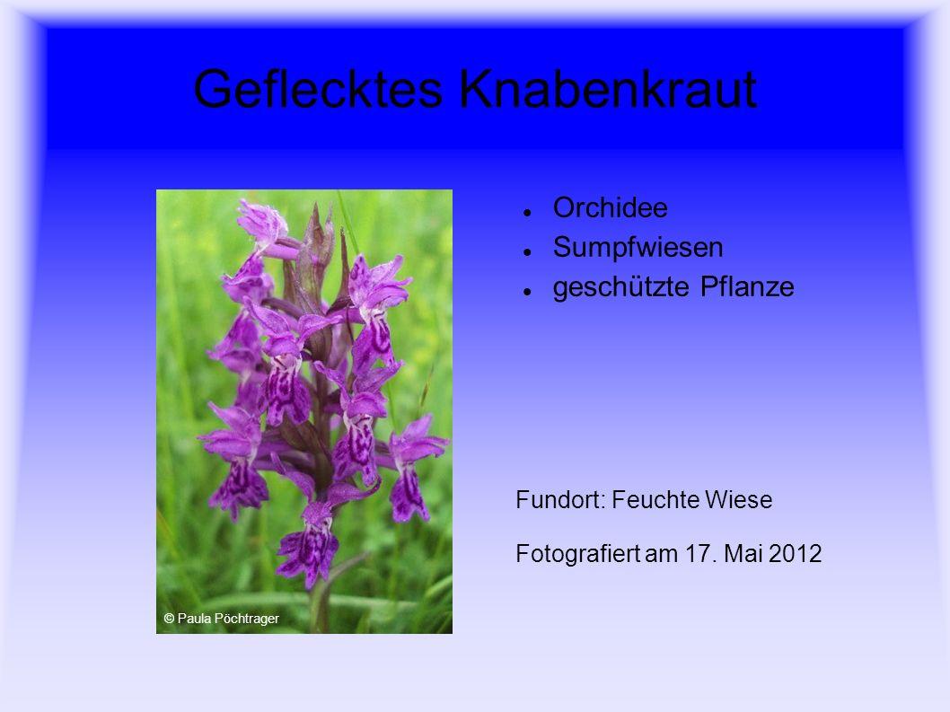 Geflecktes Knabenkraut Orchidee Sumpfwiesen geschützte Pflanze Fundort: Feuchte Wiese Fotografiert am 17. Mai 2012 © Paula Pöchtrager