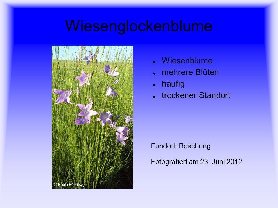 Wiesenbocksbart Korbblütler grasartige Blätter Fundort: Wiese Fotografiert am 27.