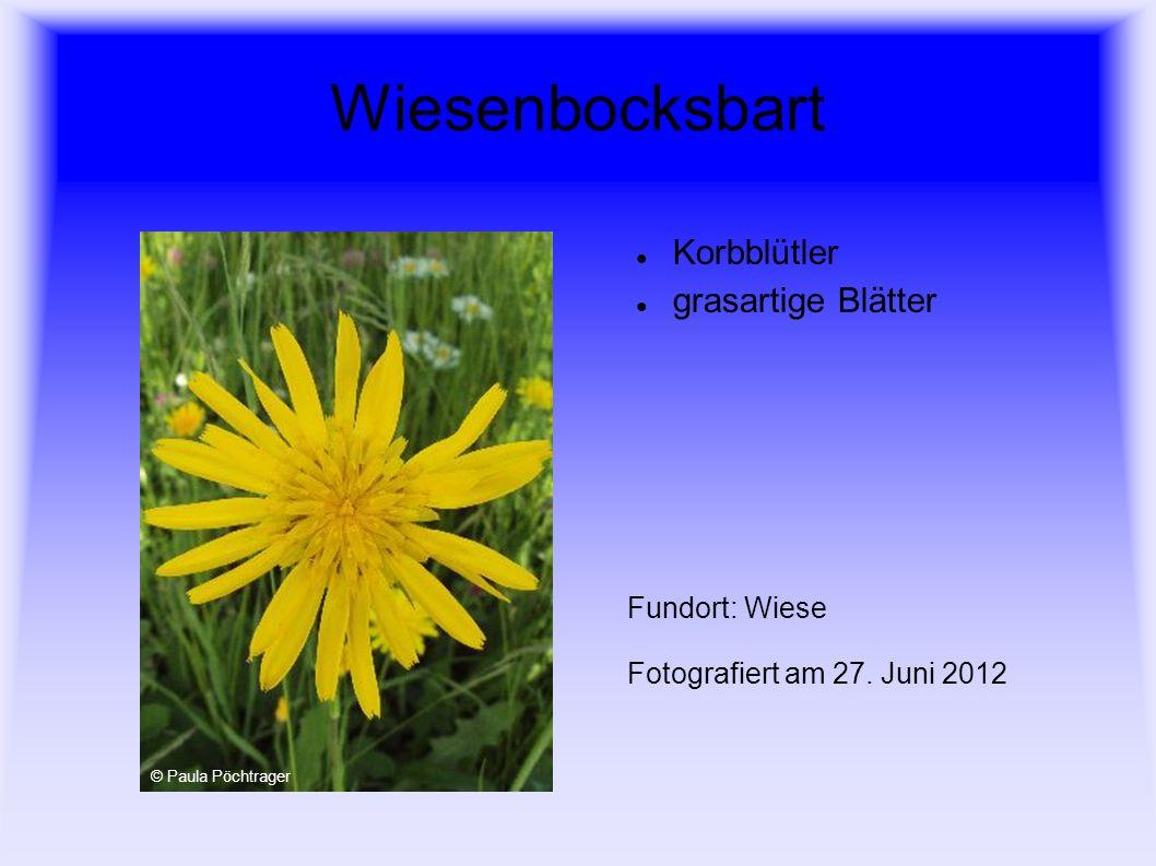 Wiesenbocksbart Korbblütler grasartige Blätter Fundort: Wiese Fotografiert am 27. Juni 2012 © Paula Pöchtrager