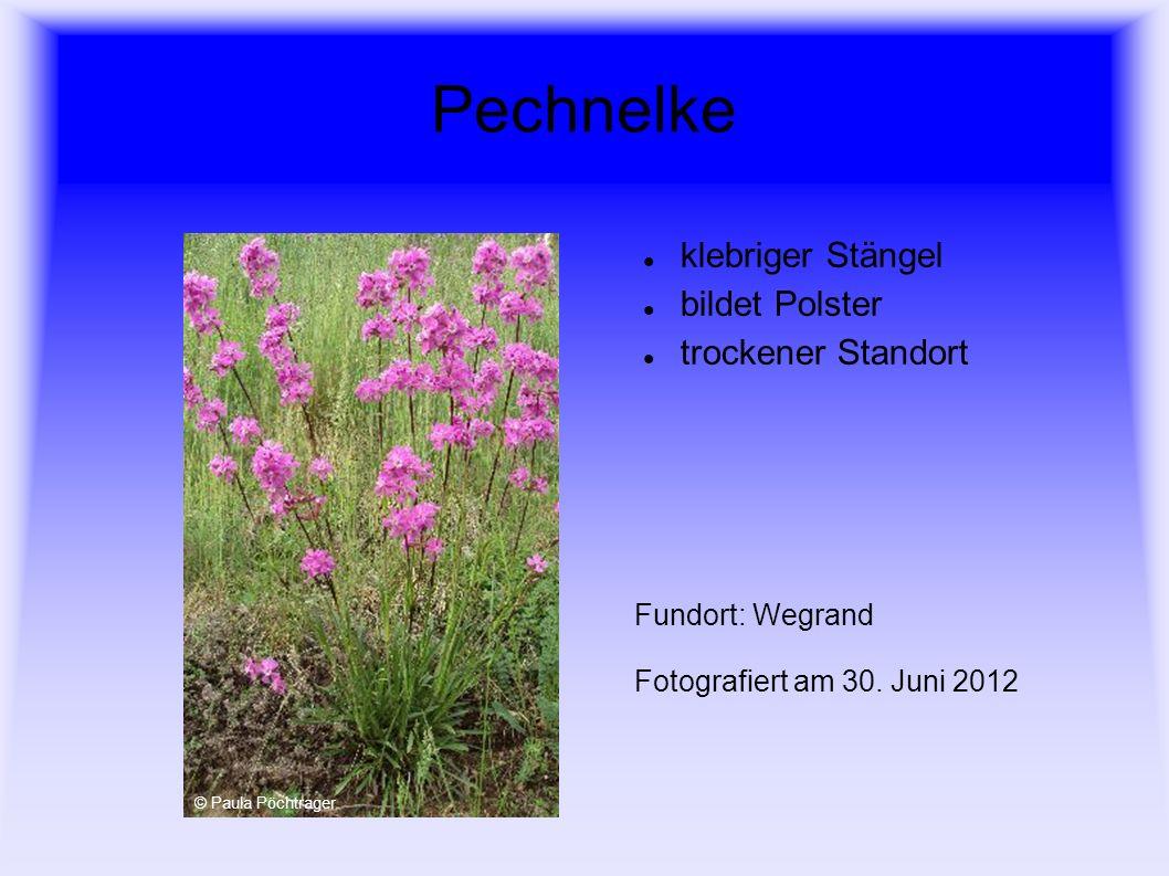 Pechnelke klebriger Stängel bildet Polster trockener Standort Fundort: Wegrand Fotografiert am 30. Juni 2012 © Paula Pöchtrager