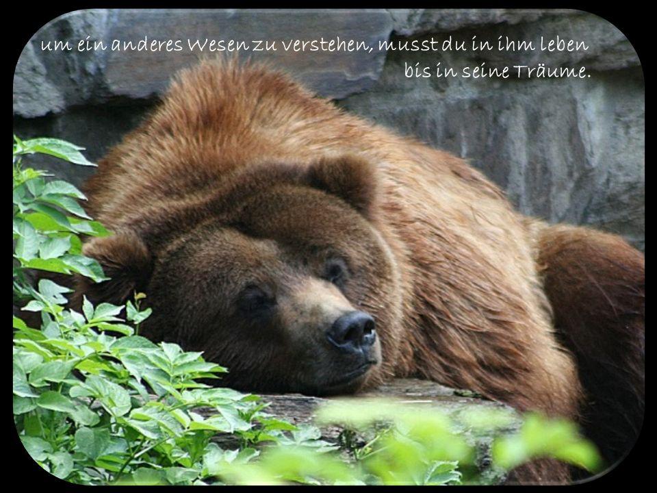 Für bedrohte Wildtiere brechen wieder bessere Zeiten an, darunter befinden sich auch die Braunbären. Die Familie der Bären umfasst insgesamt neun Unte
