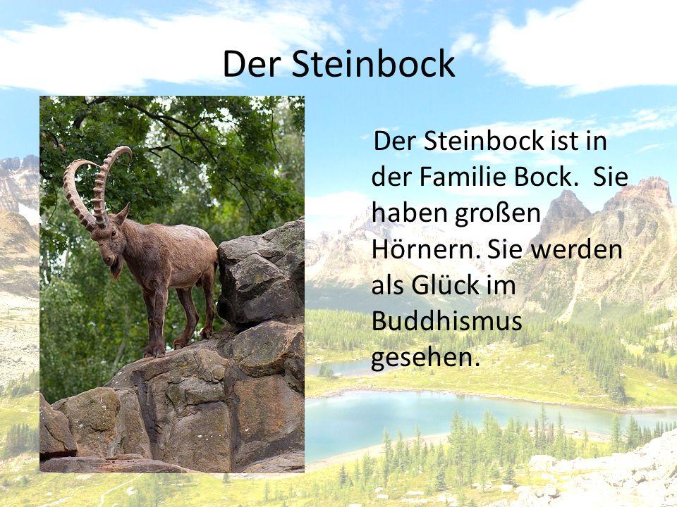 Der Steinbock Der Steinbock ist in der Familie Bock.