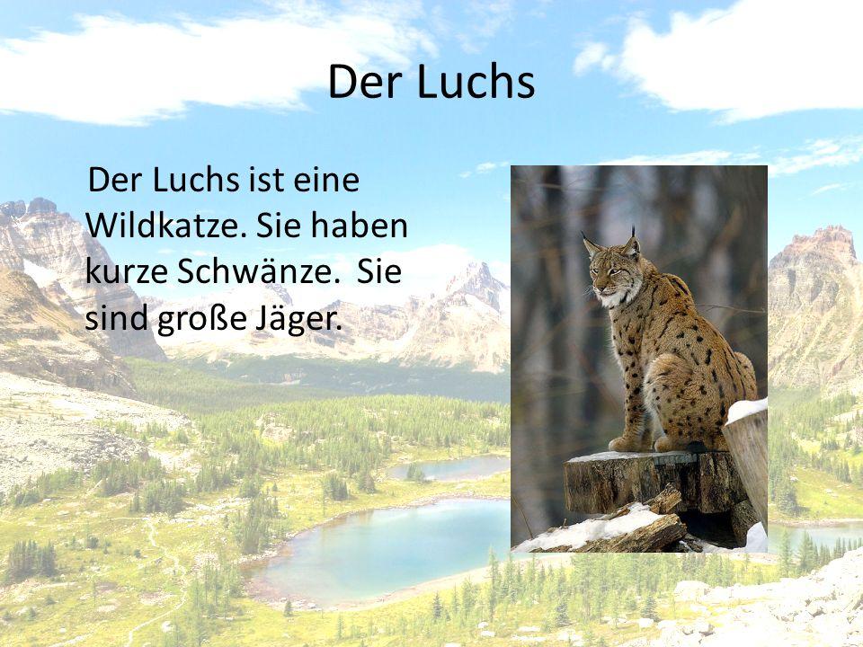 Der Luchs Der Luchs ist eine Wildkatze. Sie haben kurze Schwänze. Sie sind große Jäger.