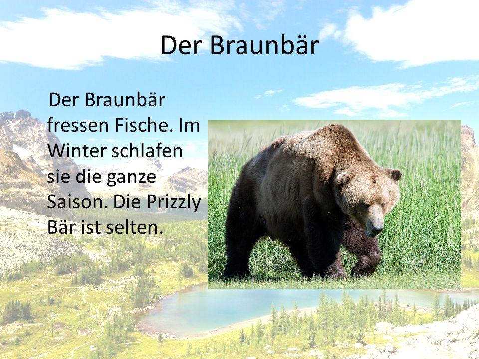 Der Braunbär Der Braunbär fressen Fische.Im Winter schlafen sie die ganze Saison.
