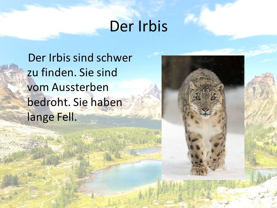 Der Irbis Der Irbis sind schwer zu finden. Sie sind vom Aussterben bedroht. Sie haben lange Fell.