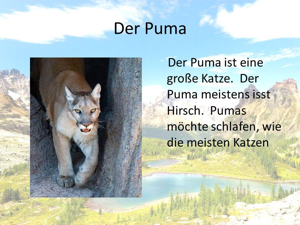 Der Puma Der Puma ist eine große Katze.Der Puma meistens isst Hirsch.