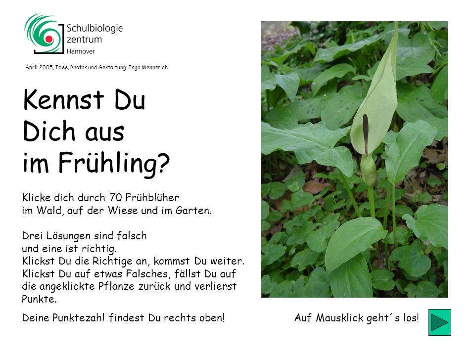 50 Wilde Tulpe Silberblatt Scharbockskraut Löwenzahn 50