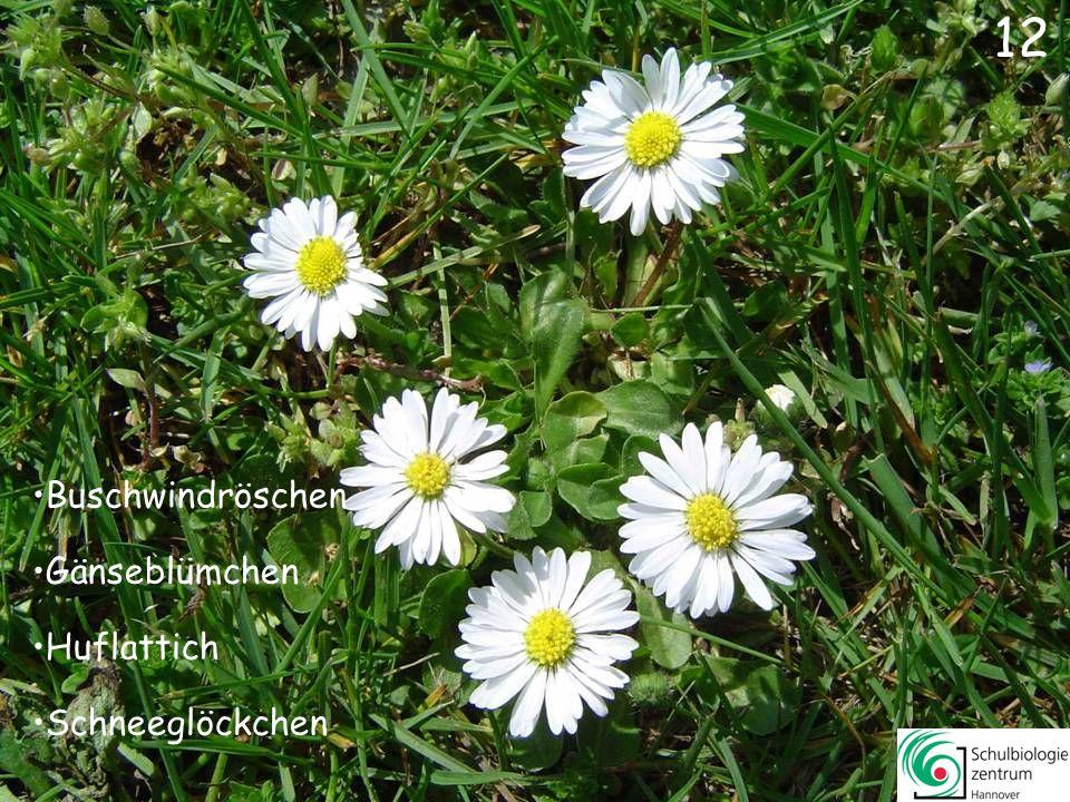 11 Gelbes Windröschen Winterling Buschwindröschen Huflattich 11