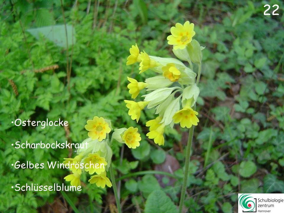21 Gundermann Lungenkraut Trauben-Hyazinthe Wald-Veilchen 21
