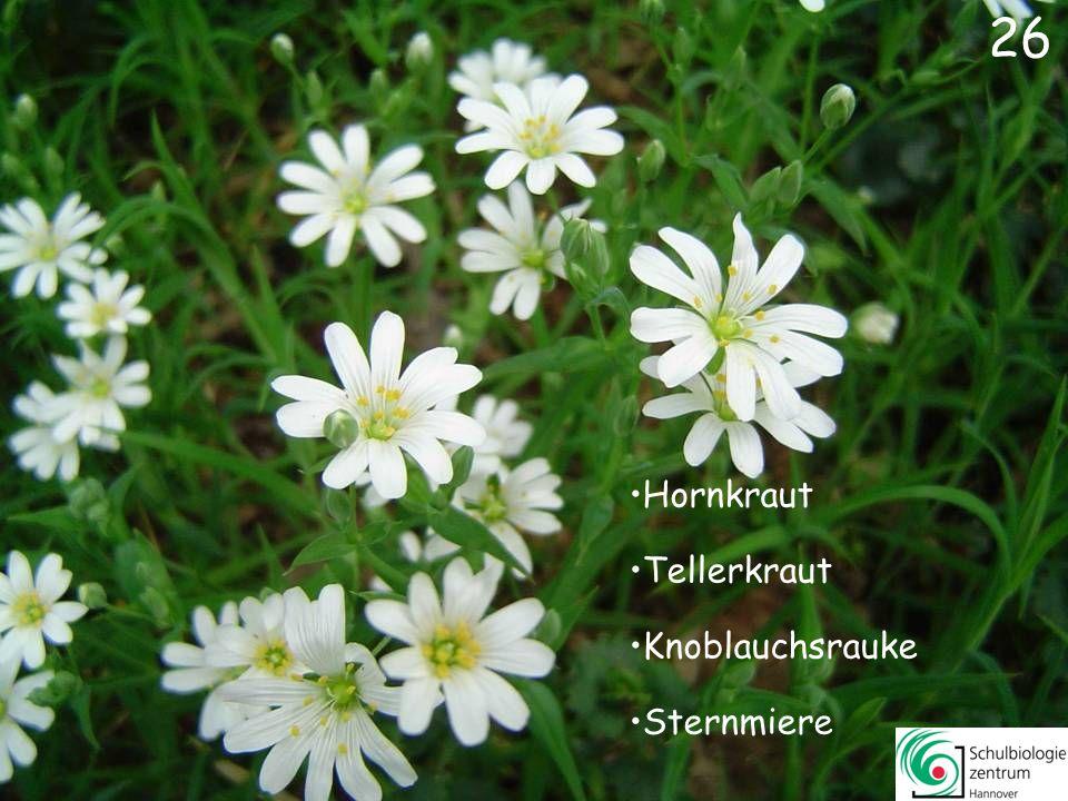 25 Hornkraut Gänseblümchen Buschwindröschen Reiherschnabel 25