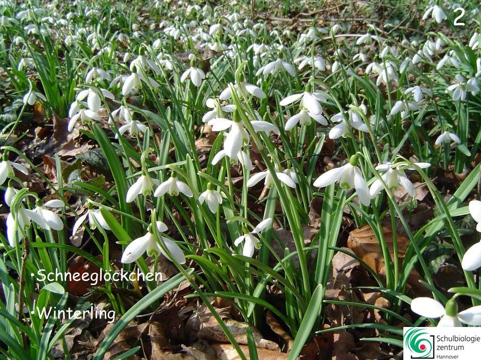 12 Gänseblümchen Buschwindröschen Huflattich Schneeglöckchen 12