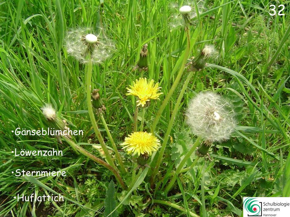 31 Goldnessel Gelbes Windröschen Scharbockskraut Gefleckte Taubnessel 31