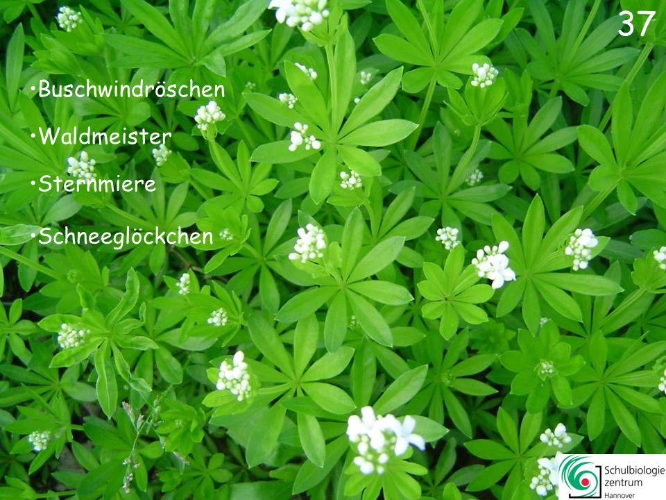 36 Bären-Lauch Wiesen-Schaumkraut Salomonssiegel Knoblauchsrauke 36