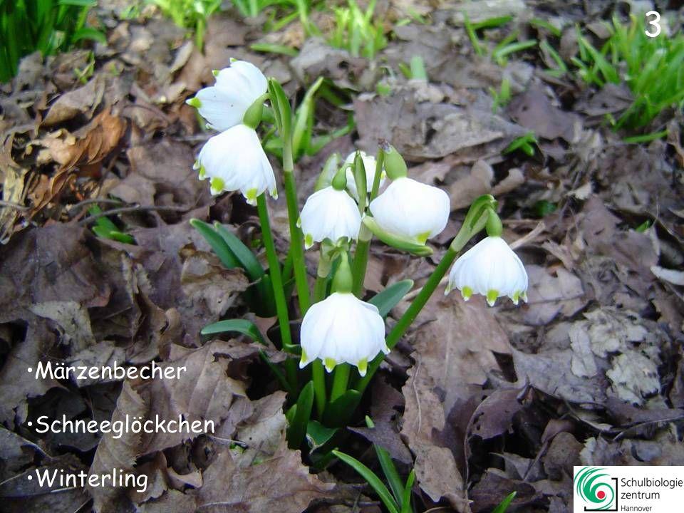 3 Märzenbecher Schneeglöckchen Winterling 3