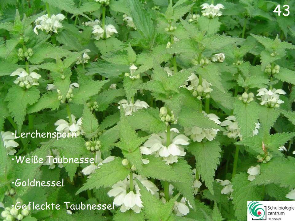 42 Silberblatt Gundermann Lungenkraut Wald-Veilchen 42