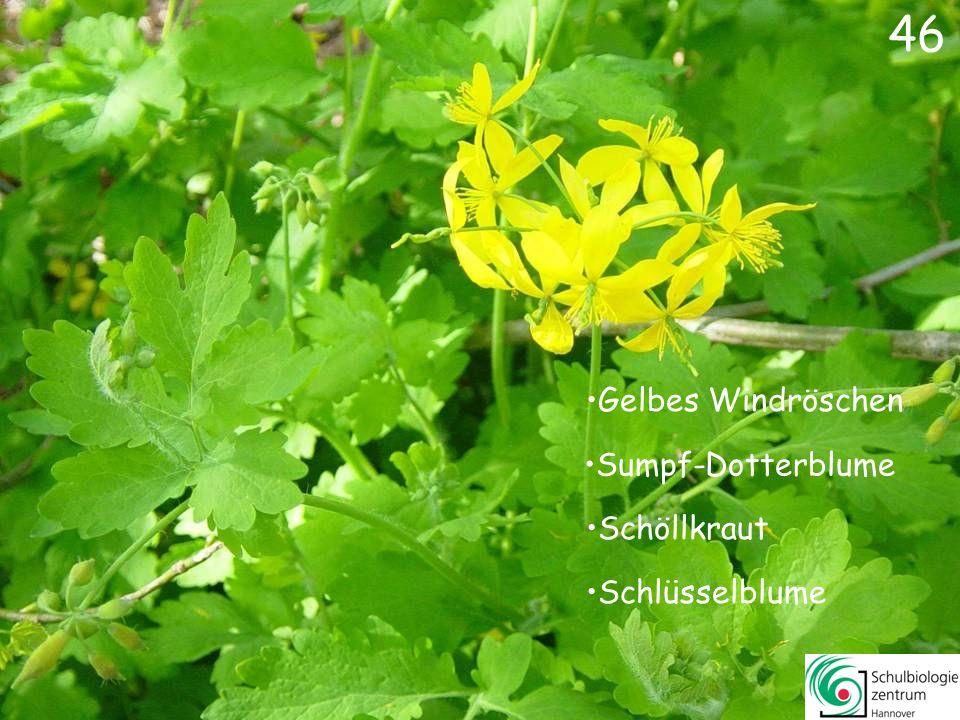 45 Wald-Erdbeere Waldmeister Sauerklee Vogelmiere 45