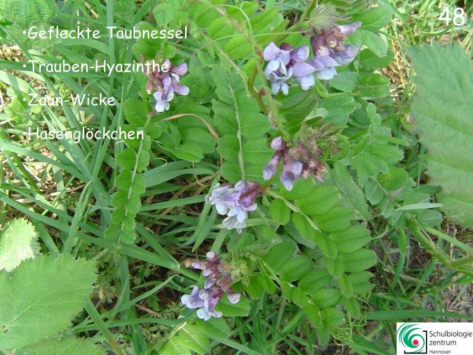 47 Rote Taubnessel Weiße Taubnessel Gundermann Kriechender Günsel 47