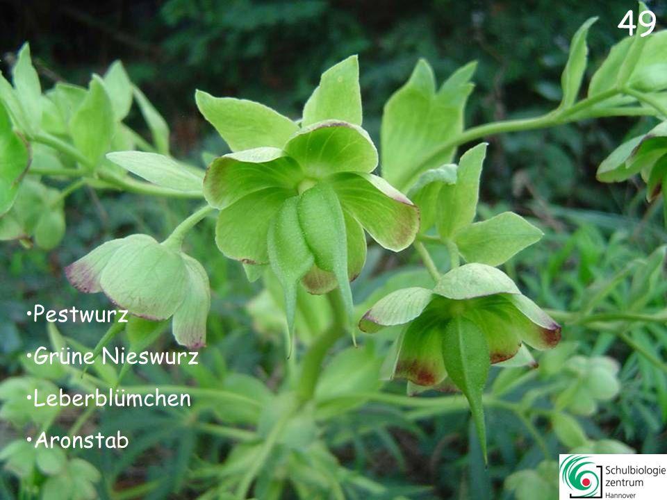 48 Zaun-Wicke Trauben-Hyazinthe Hasenglöckchen Gefleckte Taubnessel 48