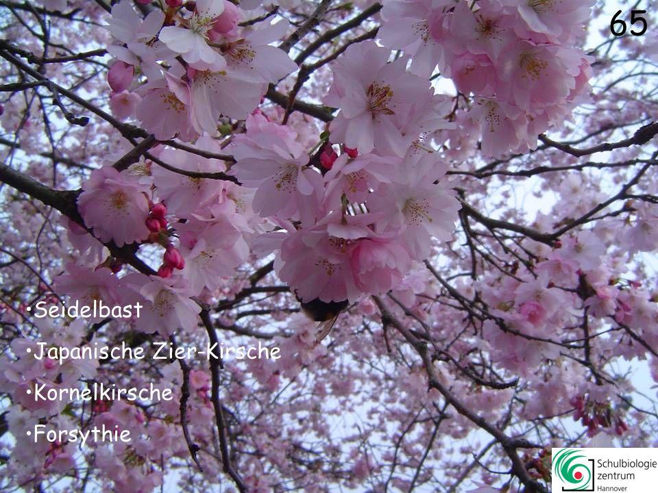 64 Weide (männlich) Schneeball (Viburnum x bodnatense) Aronstab Pestwurz 64