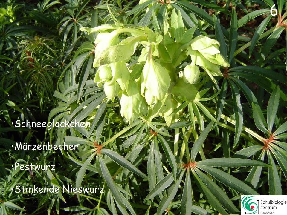 46 Schöllkraut Sumpf-Dotterblume Gelbes Windröschen Schlüsselblume 46
