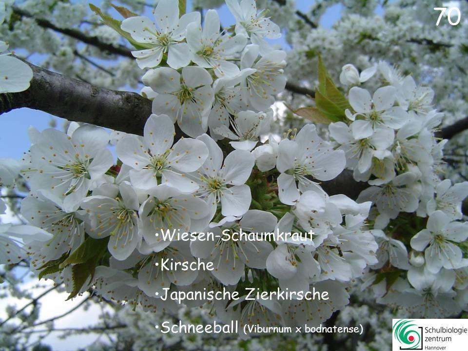 69 Winterblüte Winterling Forsythie Japanische Zier-Kirsche 69