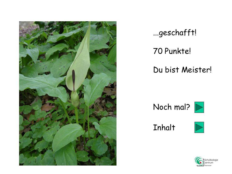 70 Kirsche Japanische Zierkirsche Schneeball (Viburnum x bodnatense)Schneeball (Viburnum x bodnatense) Wiesen-Schaumkraut 70