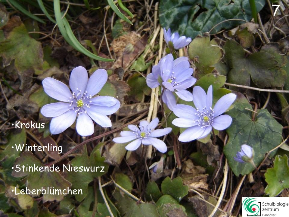 7 Leberblümchen Winterling Stinkende Nieswurz Krokus 7