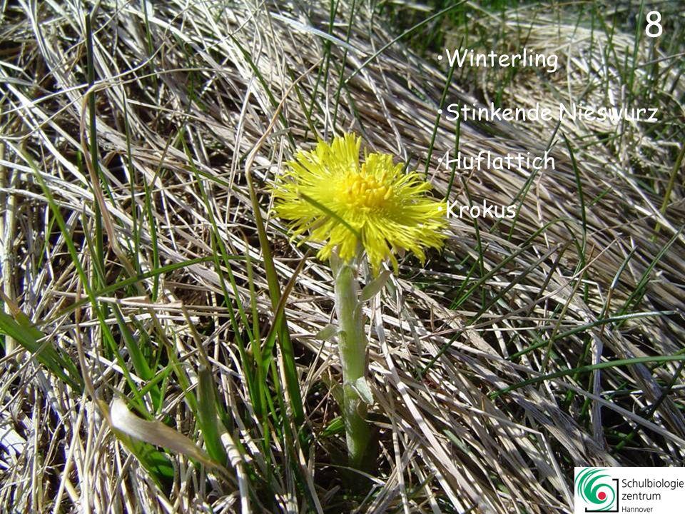 38 Sumpf-Dotterblume Scharbockskraut Gelbes Windröschen Winterling 38